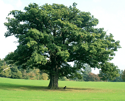 Photo of an oak tree.